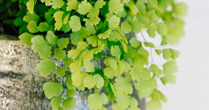 Plant Experts Share How To Care For *And Revive* This Finicky Fern